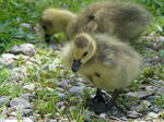 Lil Baby Canada Goose