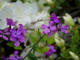Silverdollar Flowers by Mogrianne