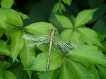 Brassy dragonfly by Mogrianne