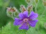 Blue flower with cool stamens