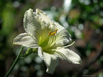 White daylily by Mogrianne