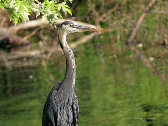 Portait of a Great Blue Heron by Mogrianne