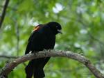 Redwing black bird by Mogrianne
