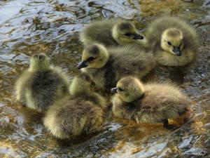 Gosling cluster
