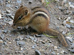 Chipmunk Youth by Mogrianne