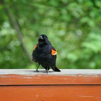 Redwing Blackbird on Red Bridge