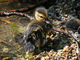 Baby duck 3 by Mogrianne