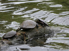 Turtle share by Mogrianne