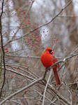Red Cardinal in  Multiflora Rose