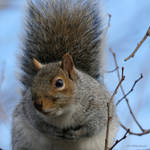 Hello grey squirrel