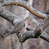 Mourning dove in tree frame by Mogrianne