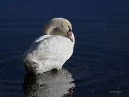 Young solo swan by Mogrianne