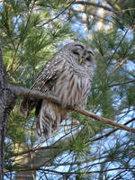 Barred Owl In the Pines by Mogrianne