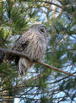 Little barred owl