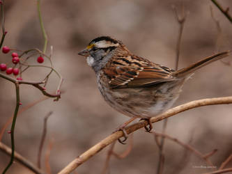 White Throated Sparrow by Mogrianne