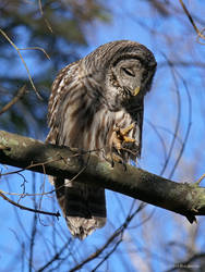 Look at my foot - Barred Owl by Mogrianne