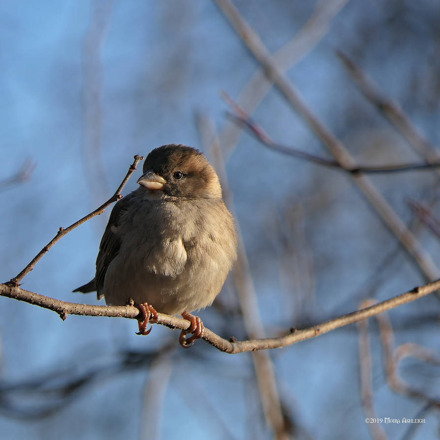 Old World Sparrow Female by Mogrianne