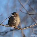 Old World Sparrow Female