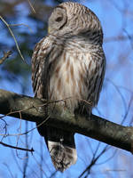 Barred Owl Profile by Mogrianne