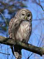 Barred owl 2 by Mogrianne