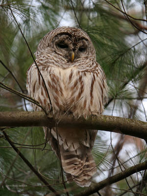 Barred Owl In Pines