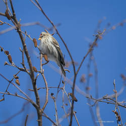 Redpoll in the Branches by Mogrianne