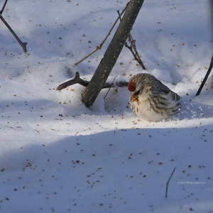 Arctic Redpoll in the Snow