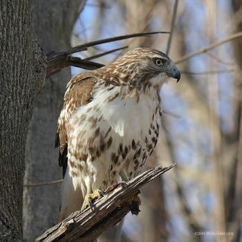Hawk profile by Mogrianne