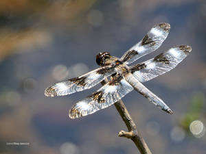 12 Spotted Skimmer Wings