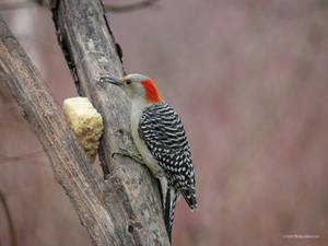 Redbelly Woodpecker and the suet