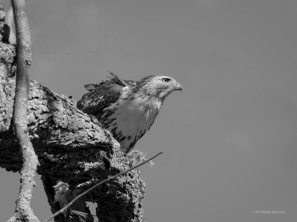 Hawk profile in black and white