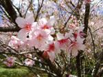 Sakura II