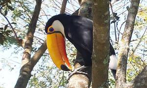 Toco toucan II
