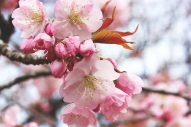 Sakura in Shinjuku Gyoen National Park