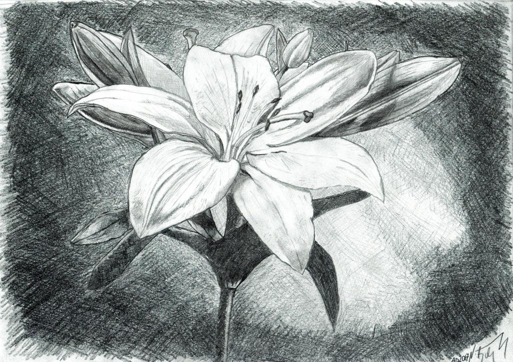 White lily by MateuszNitychoruk
