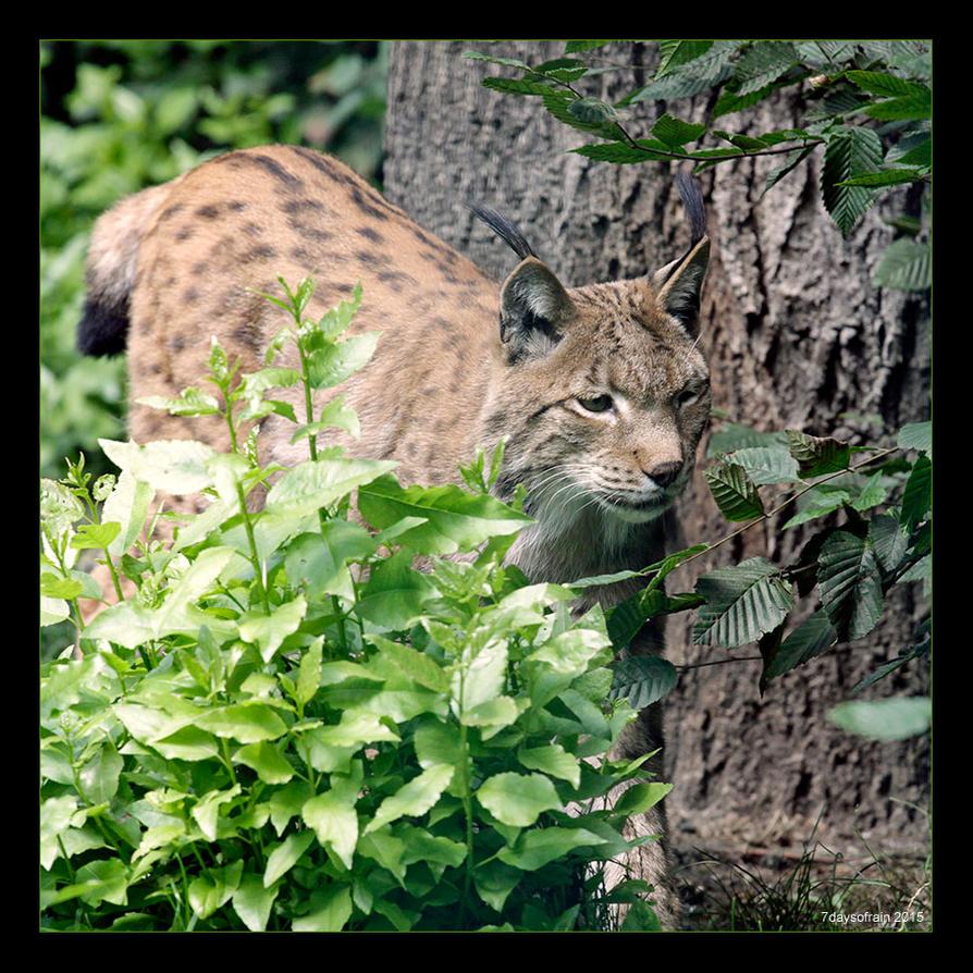 Lynx by 7DaysOfRain