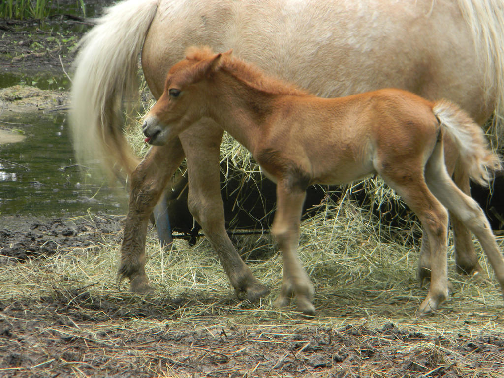 White baby horse