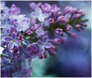 Lilac by closer-to-heaven