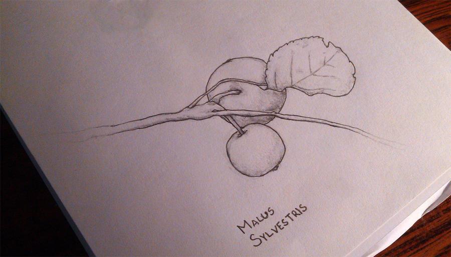 Malus sylvestris by MarkTheGr8
