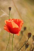 64.  poppy by littleconfusion