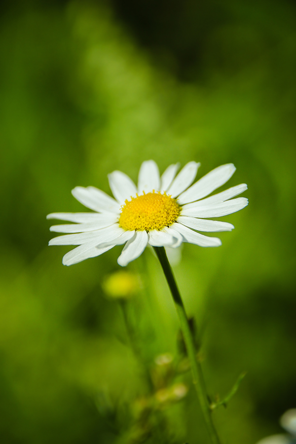 115. daisy by littleconfusion