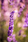 133. lavender III