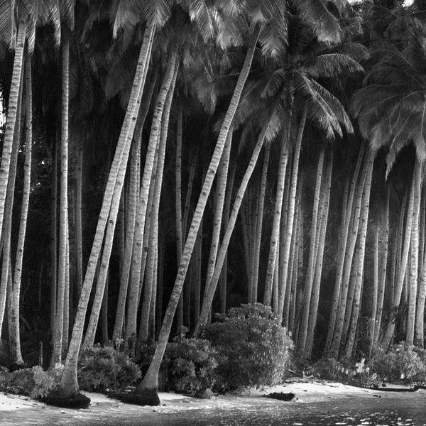 coconut tree by Hengki24