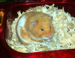 Butters the Hamster