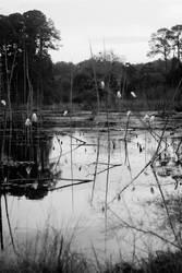 Florida Egrets