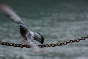 pigeon by pLateauce