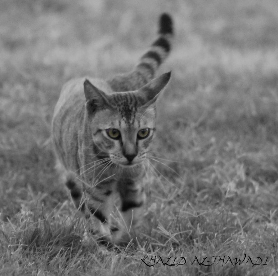 wondering Cat - Bahrain by Khalid-AlThawadi