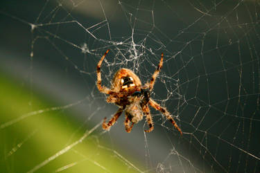 Caught in its Web by JesusasaurusRex
