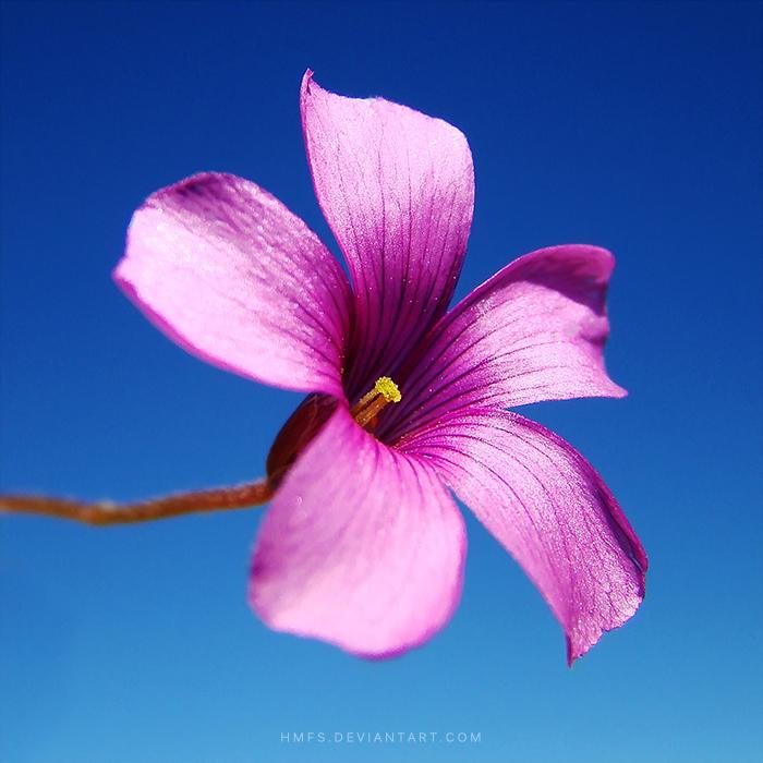 Purple Bloom by Miguel-Santos