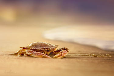 Crab Cribrarius